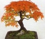 bonsai_acer