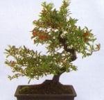 pyracantha_angustifolia