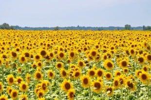 Слънчоглед - цветето на щастието