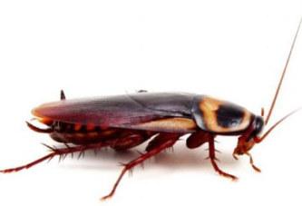 Как да изгоним хлебарките