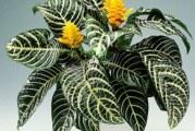 Афеландра | Aphelandra squarrosа