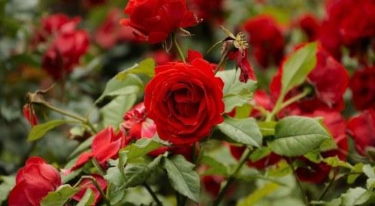 Производство на рози
