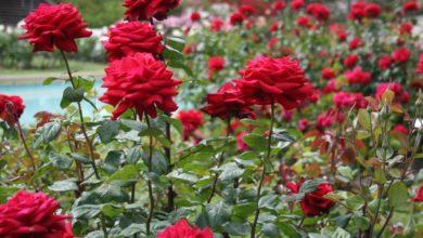 Photo of Какъв символ е била розата?