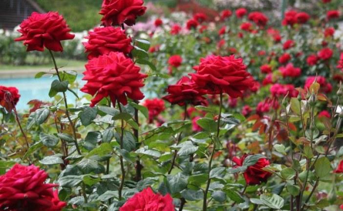 Какъв символ е била розата?