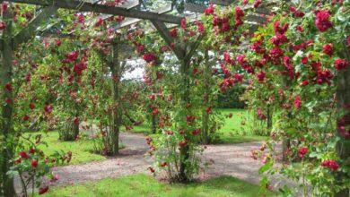 Photo of Видове рози и ботанически особенности