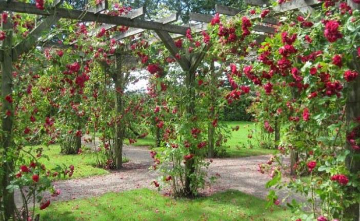 Видове рози и ботанически особенности