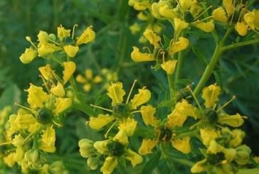 Седефче (Ruta graveolens)