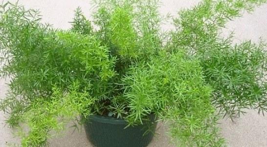 Аспарагус | Asparagus densiflorus
