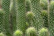 Особености и биология на кактусите