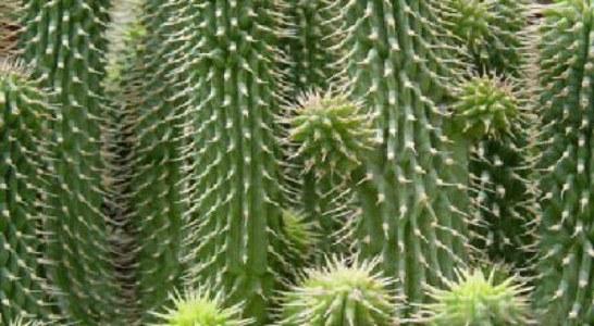 Кактуси – зелени украшения