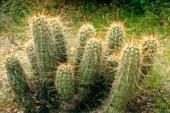 За произхода на кактусите