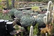 Кактусите като полезни растения
