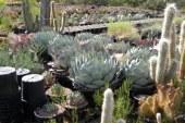 Кактуси в дома и градината