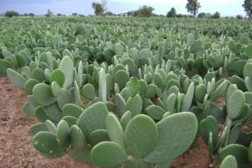 Мястото на кактусите в растителния свят