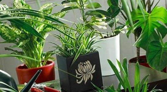 Как да мием стайните растения