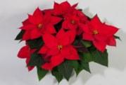 Коледна звезда