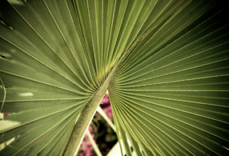 Ботаническа класификация на палмите