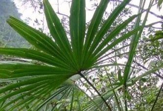 Морфологични белези на палмите