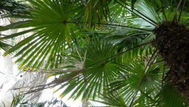 Палмите