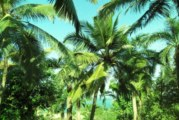 Стопанско приложение на палмите