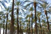 Чувствителност на палмите към студ