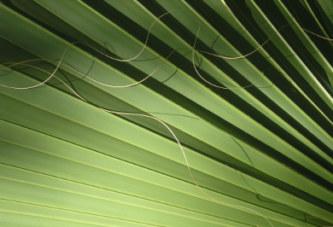 Генеративно размножаване на палмите