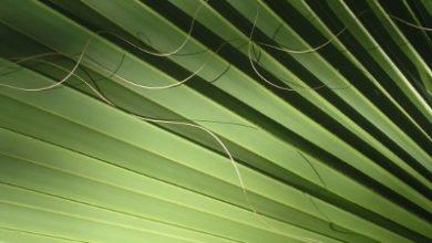 Photo of Генеративно размножаване на палмите