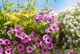 Бактерии при градинските и балконските цветя