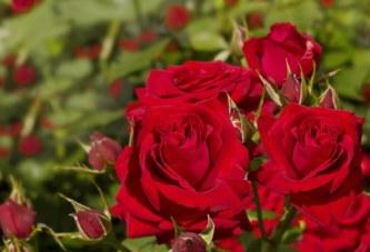 Учени обещават да върнат забравения аромат на розите