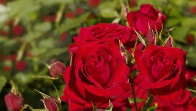 Photo of Учени обещават да върнат забравения аромат на розите
