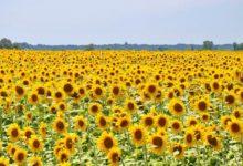 Photo of Слънчоглед – цветето на щастието