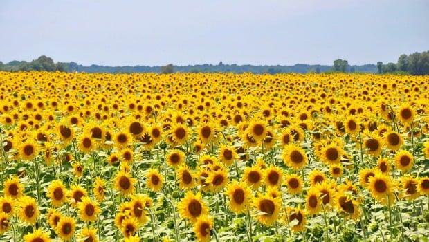 Слънчоглед – цветето на щастието