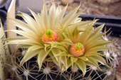 Зимеустойчиви кактуси