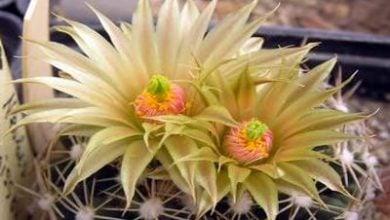 Photo of Зимеустойчиви кактуси