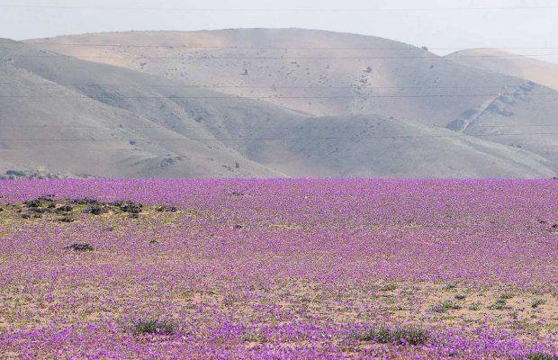 Photo of Пустинята Атакама в Чили се покри с цветя