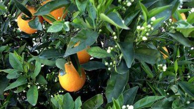 Photo of Декоративно-плодни видове растения