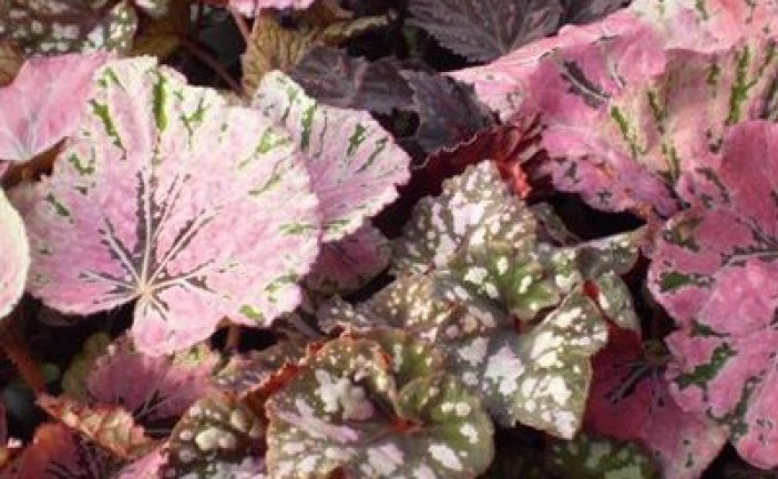 Декоративно листни растения