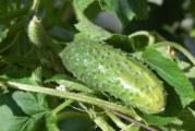Краставица