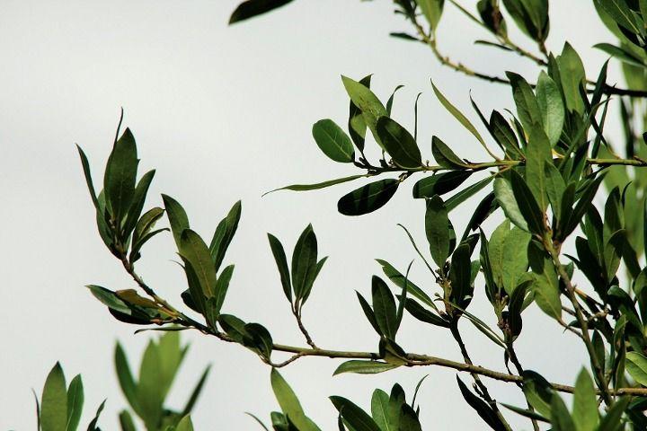 Photo of Дафинов лист